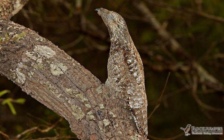 Исполинский козодой, птица - ветка, маскировка в окружающей среде (17)