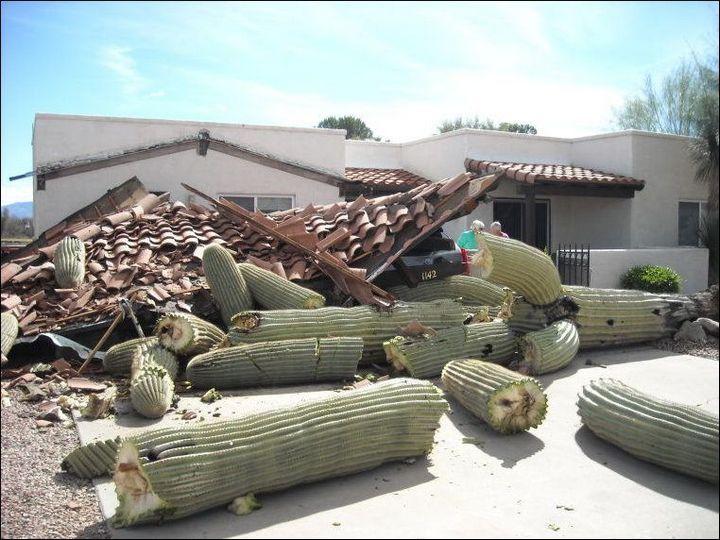 Гигантский кактус не выдержал собственного веса (2)