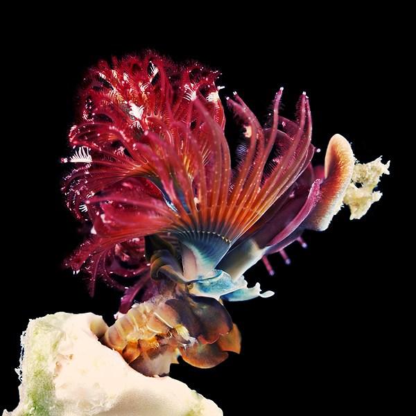 Макро фотографии морских червей (полихеты) (12)