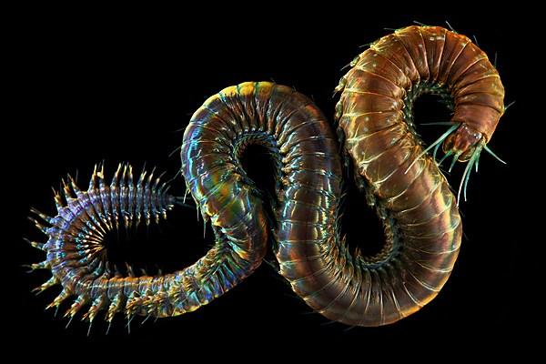 Макро фотографии морских червей (полихеты) (8)