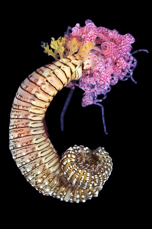 Макро фотографии морских червей (полихеты) (5)
