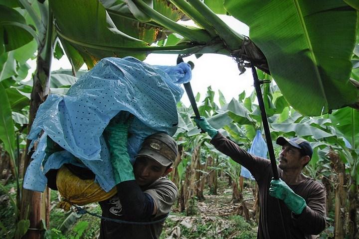 Как и где растут бананы, как их собирают (1)