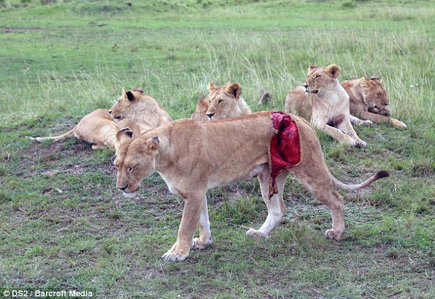Спасение кенийской львицы после серьёзного ранения (1)
