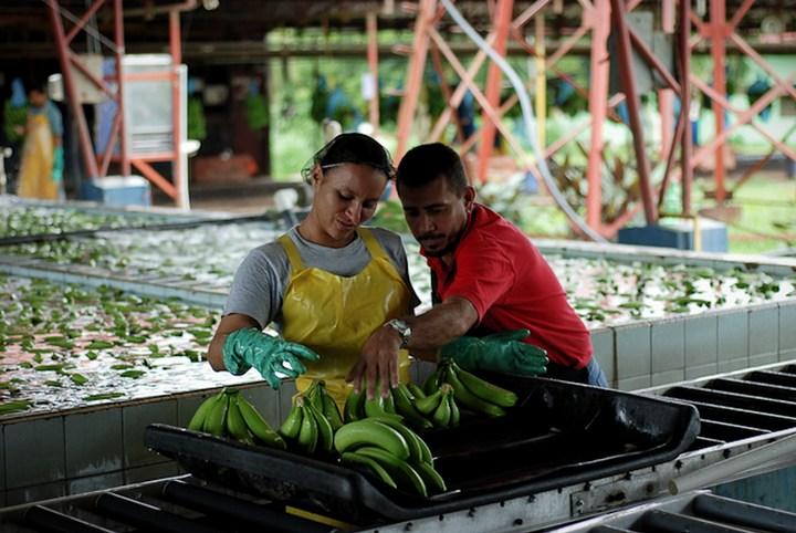 Как и где растут бананы, как их собирают (12)