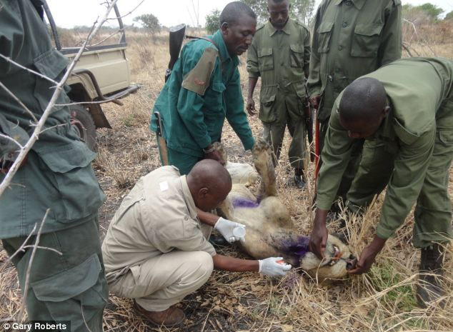 Львы три года кормили сородича, попавшего в капкан (1)