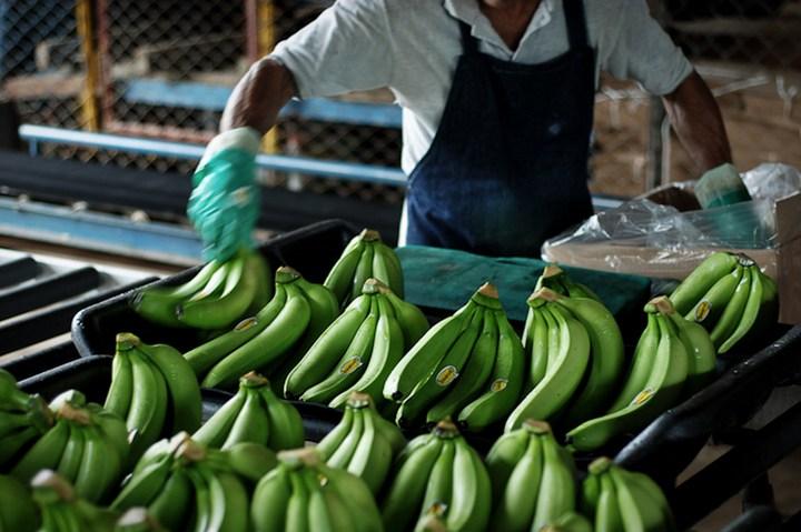Как и где растут бананы, как их собирают (13)