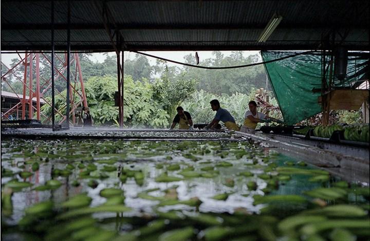 Как и где растут бананы, как их собирают (14)