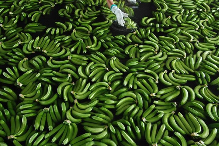 Как и где растут бананы, как их собирают (15)
