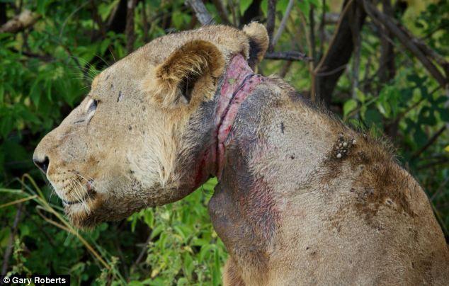 Львы три года кормили сородича, попавшего в капкан (3)