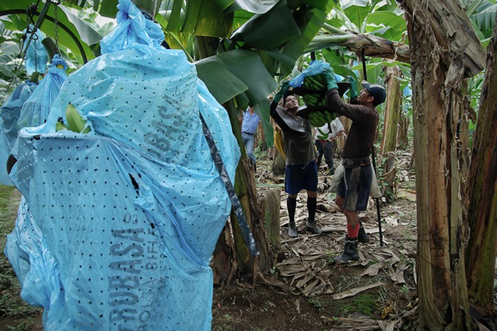 Как и где растут бананы, как их собирают (4)