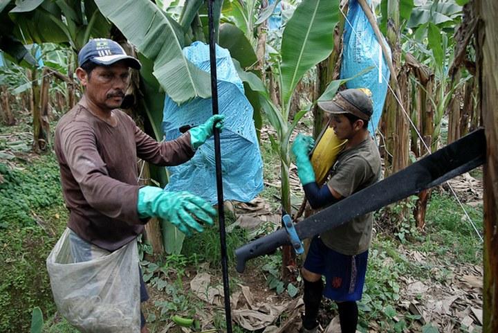 Как и где растут бананы, как их собирают (5)