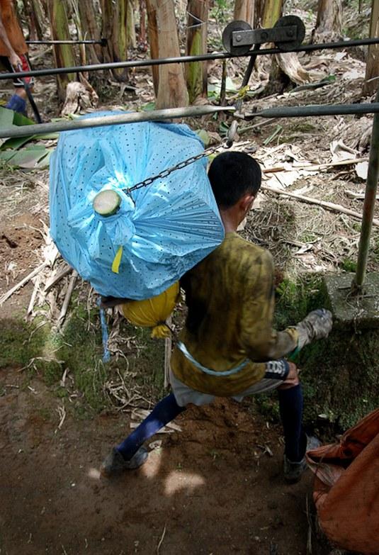 Как и где растут бананы, как их собирают (7)