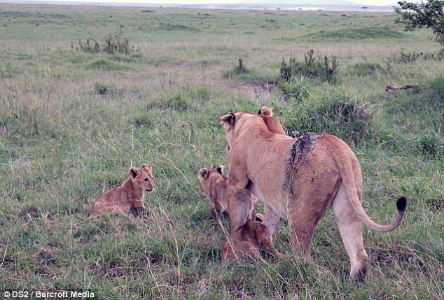 Спасение кенийской львицы после серьёзного ранения (9)