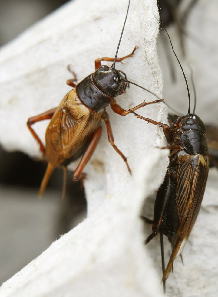 Как в Таиланде разводят съедобных насекомых (4)