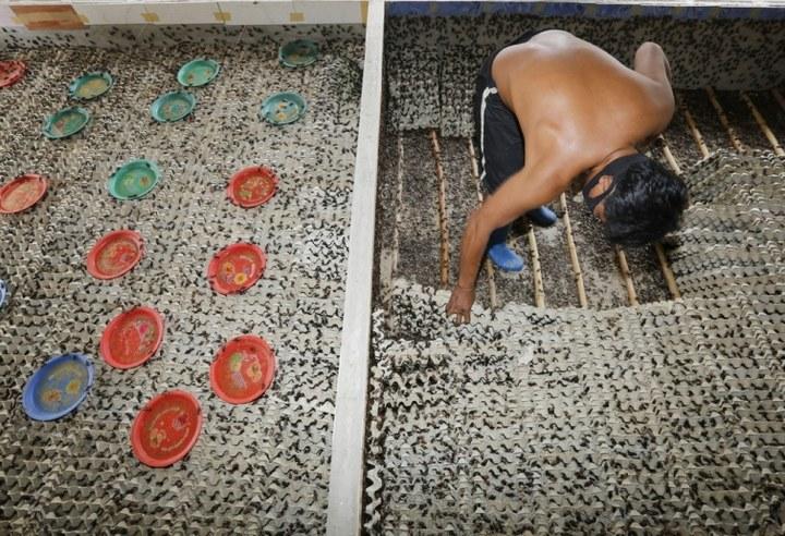 Как в Таиланде разводят съедобных насекомых (7)