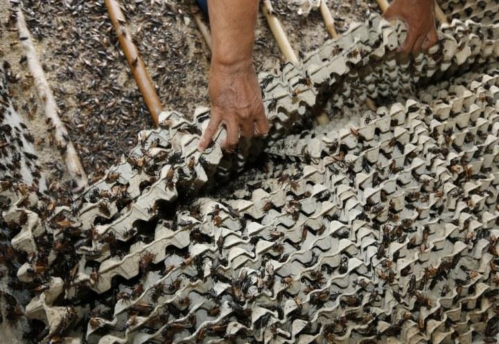 Как в Таиланде разводят съедобных насекомых (9)