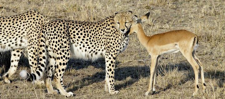 Короткая дружба хищников со своей жертвой (2)