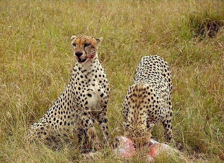Короткая дружба хищников со своей жертвой (5)