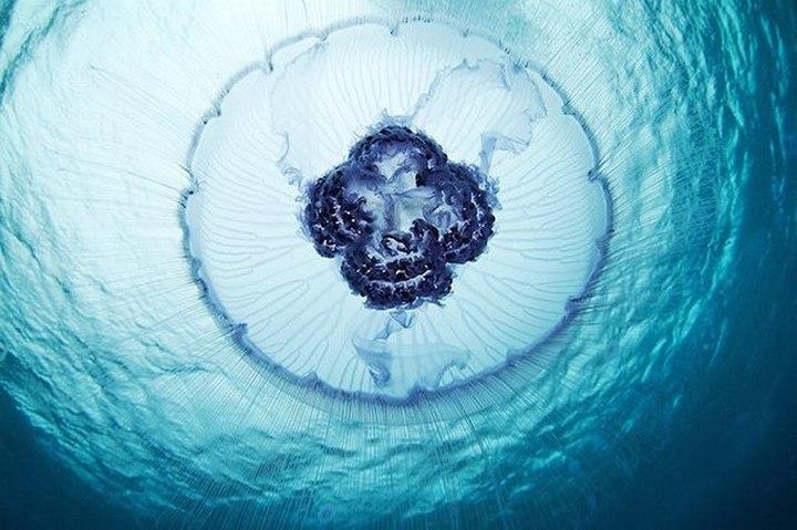 Самая длинная медуза, измеренная человеком, составляла в длину почти 50 метров - половину длины футбольного поля. Вот это монстр!