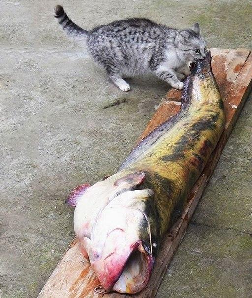 Голод не тётка или коты-воришки (4)