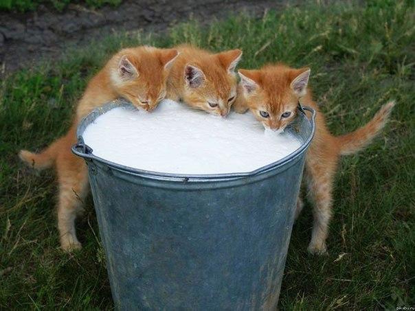 Голод не тётка или коты-воришки (2)