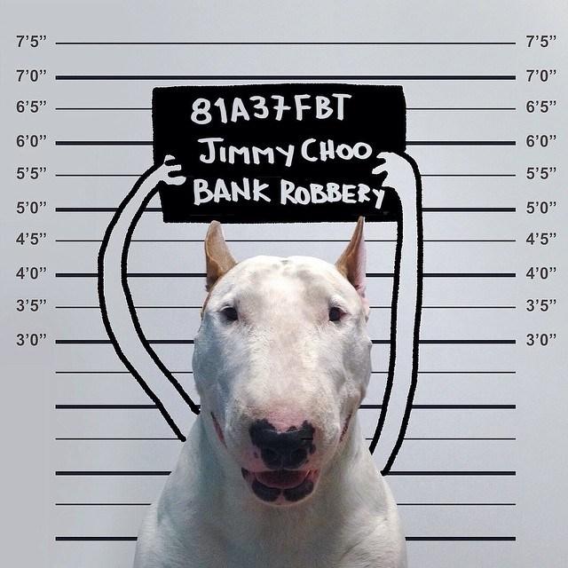 Бультерьер - забавная собака с особым нравом (10)