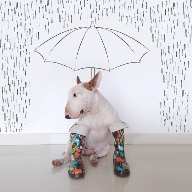 Бультерьер - забавная собака с особым нравом (3)