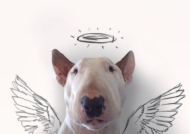 Бультерьер - забавная собака с особым нравом (2)