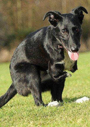 Пёс-кенгуру по кличке Ру (3)