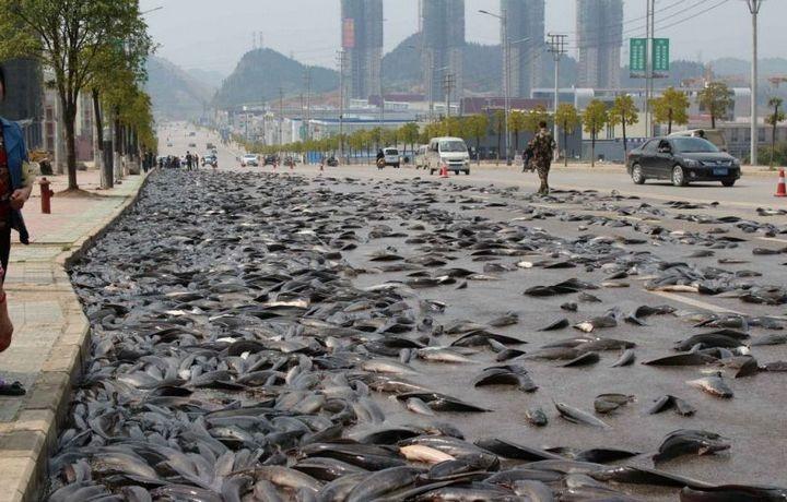 В Китае из грузовика выпало семь тонн рыбы (5)