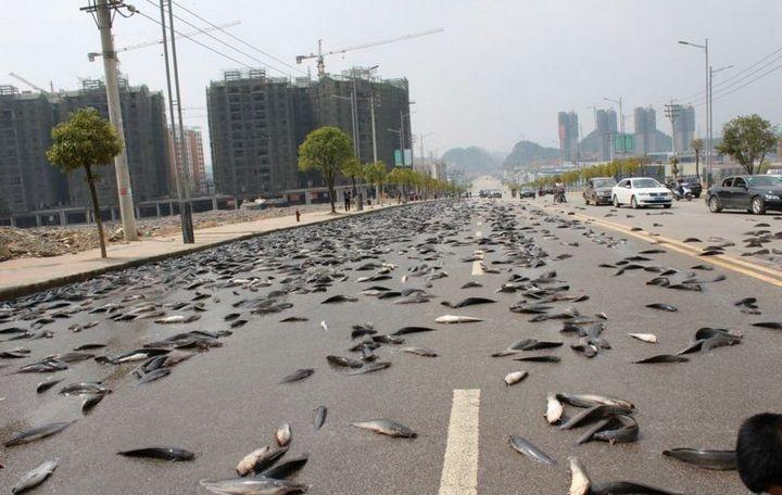 В Китае из грузовика выпало семь тонн рыбы (1)