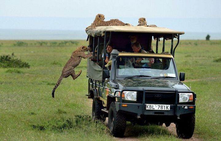 Экстремальное сафари с гепардами (1)
