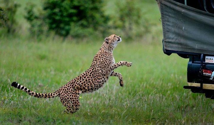 Экстремальное сафари с гепардами (2)