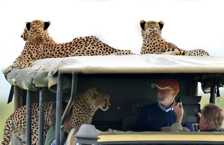 Экстремальное сафари с гепардами (3)