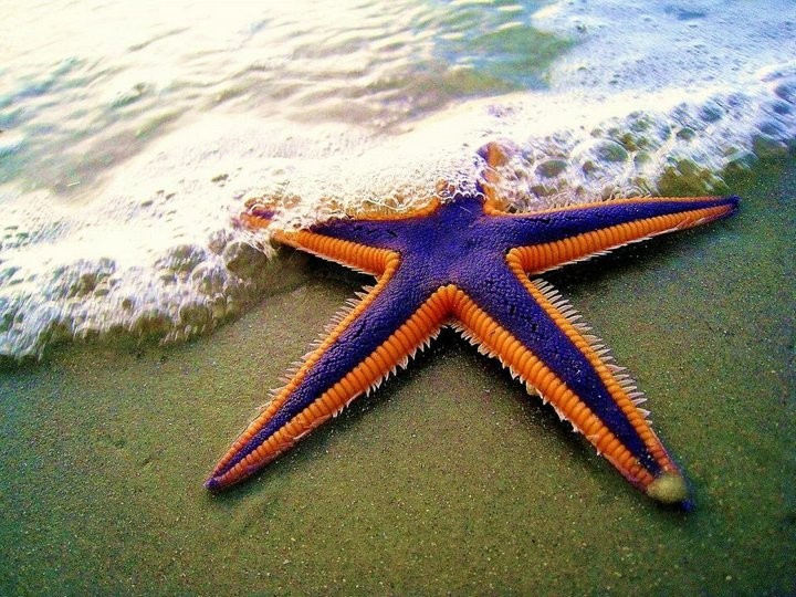 Интересные факты о морских звездах (3)