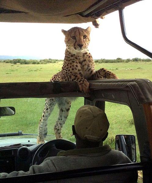 Экстремальное сафари с гепардами (5)