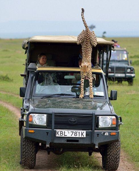 Экстремальное сафари с гепардами (7)