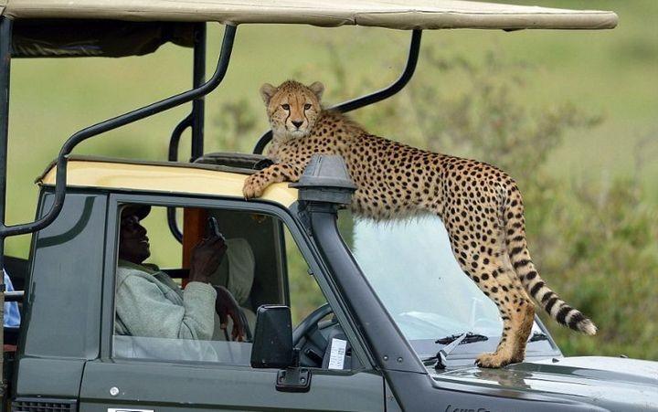 Экстремальное сафари с гепардами (8)