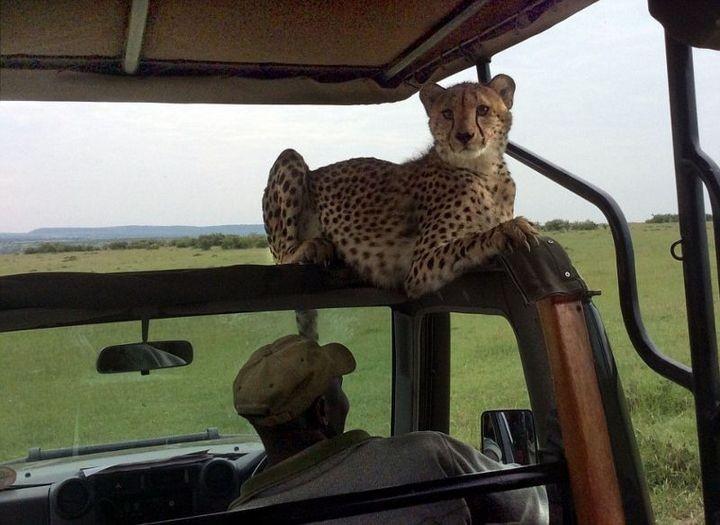 Экстремальное сафари с гепардами (9)