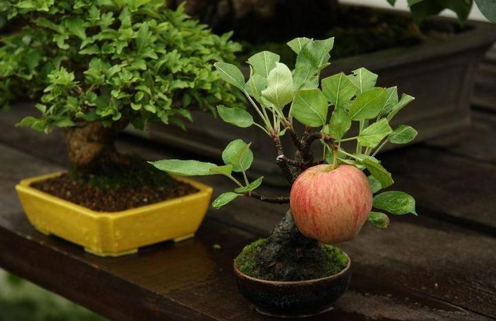 На Бонсай яблоне растет полноценное яблоко