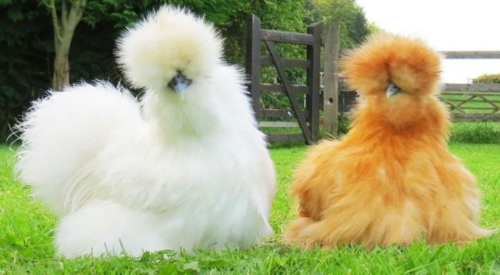 Про удивительных китайских шелковых куриц (1)