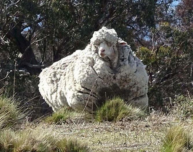 С заросшей австралийской овцы состригли шерсти на 30 свитеров (1)