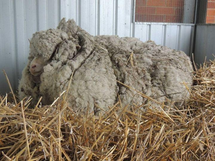 С заросшей австралийской овцы состригли шерсти на 30 свитеров (2)