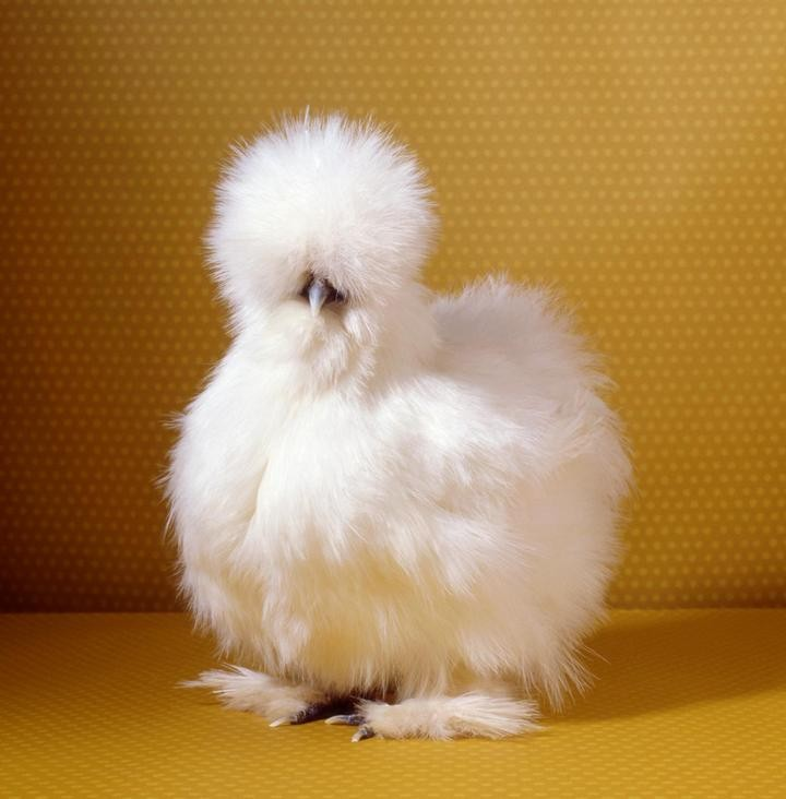 Про удивительных китайских шелковых куриц (4)