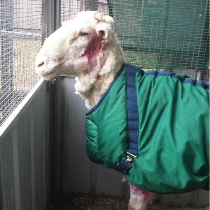 С заросшей австралийской овцы состригли шерсти на 30 свитеров (8)