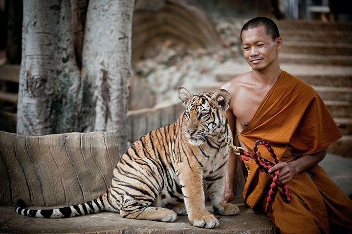 Храм тигров или монастырь в Тайланде (7)