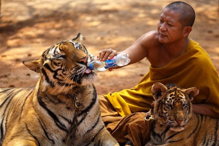Храм тигров или монастырь в Тайланде (4)