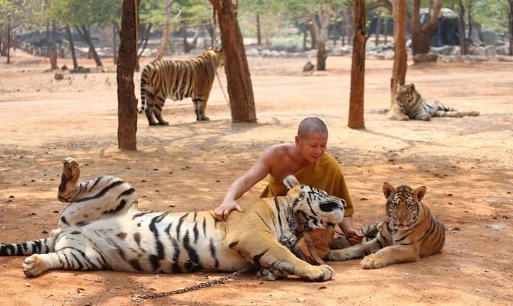 Храм тигров или монастырь в Тайланде (2)