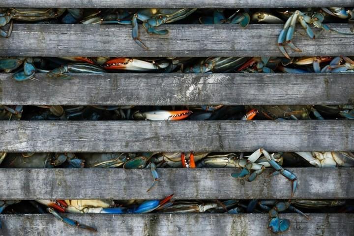 Как ловят голубых крабов (1)