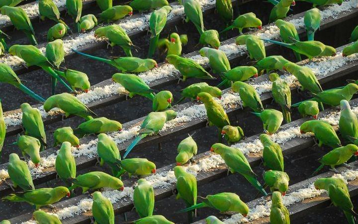 Индиец 10 лет кормит тысячи попугаев (4)